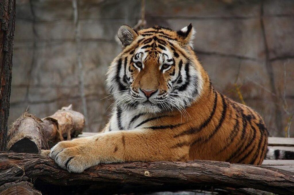 Tygr ussurijsky