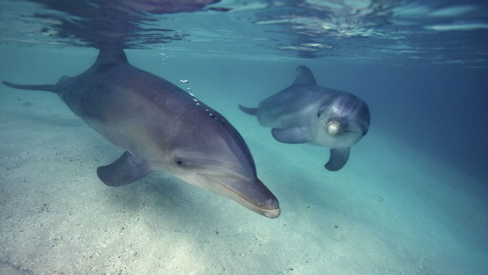 Delfíni v Karibském moři