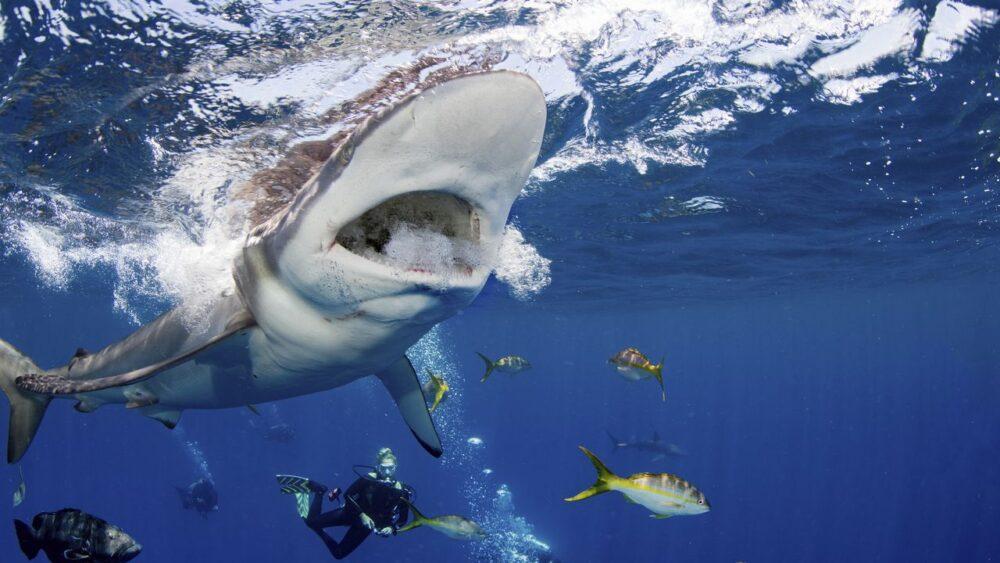 Karibské moře žralok