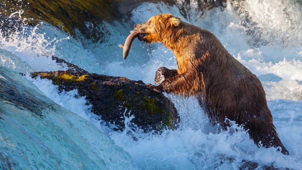 Medvěd lovící rybu Aljaška