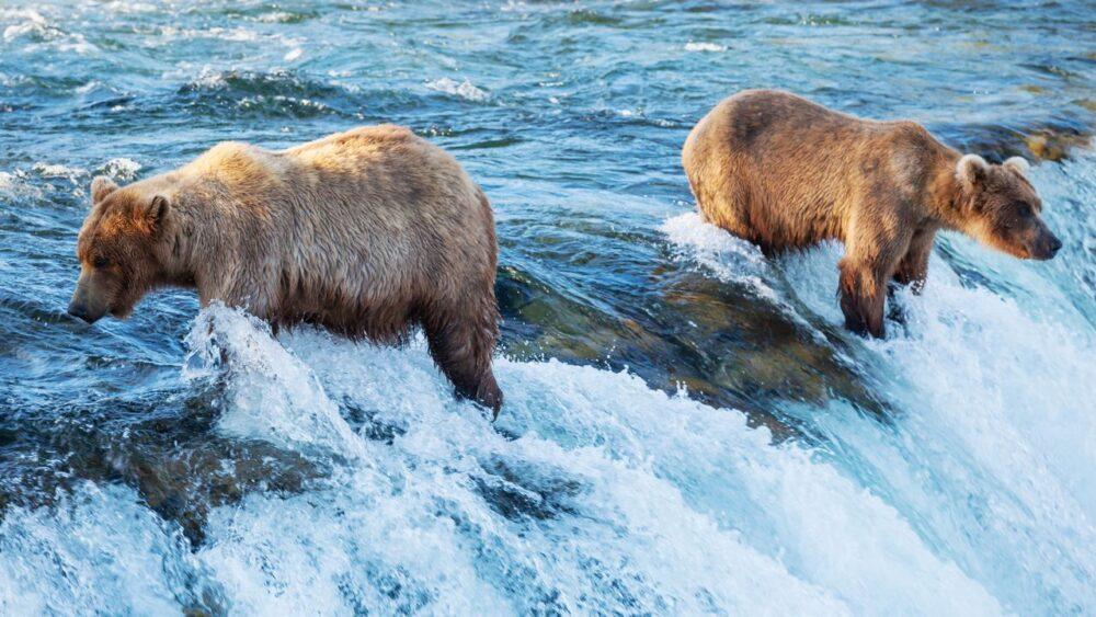Medvědi lovící ryby na Aljašce