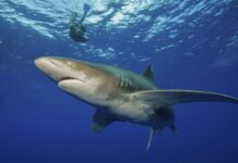 Potápěč u žraloka