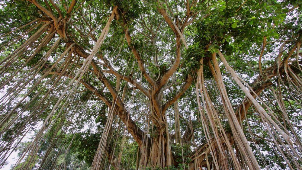 Stromy na ostrově Jáva