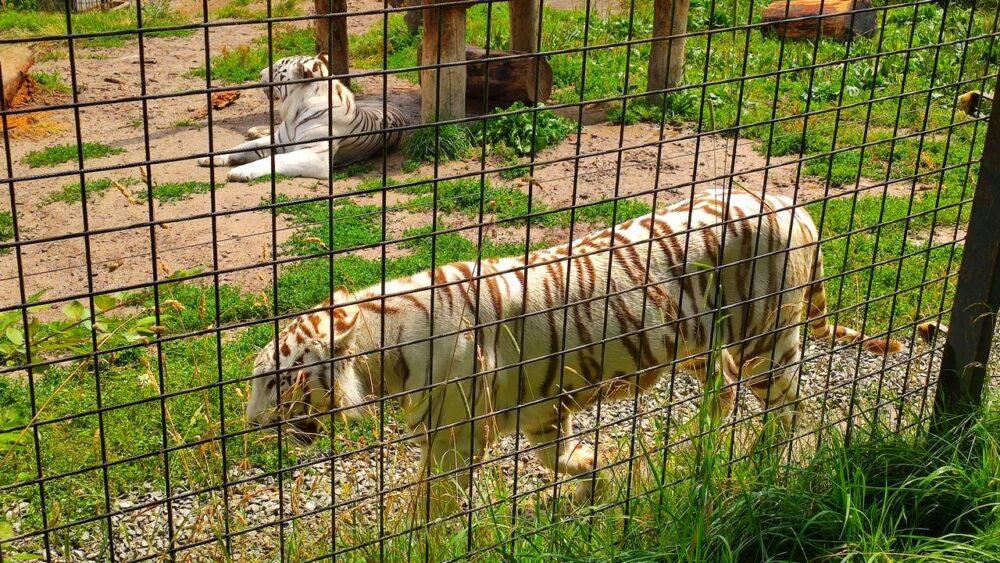 Bílý tygr zoo dvorec