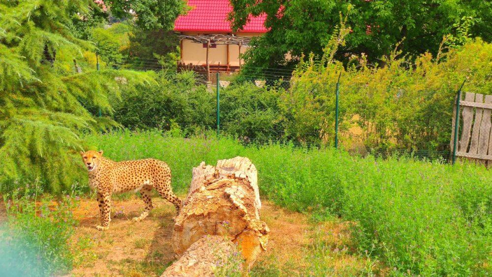 Gepard v zoo