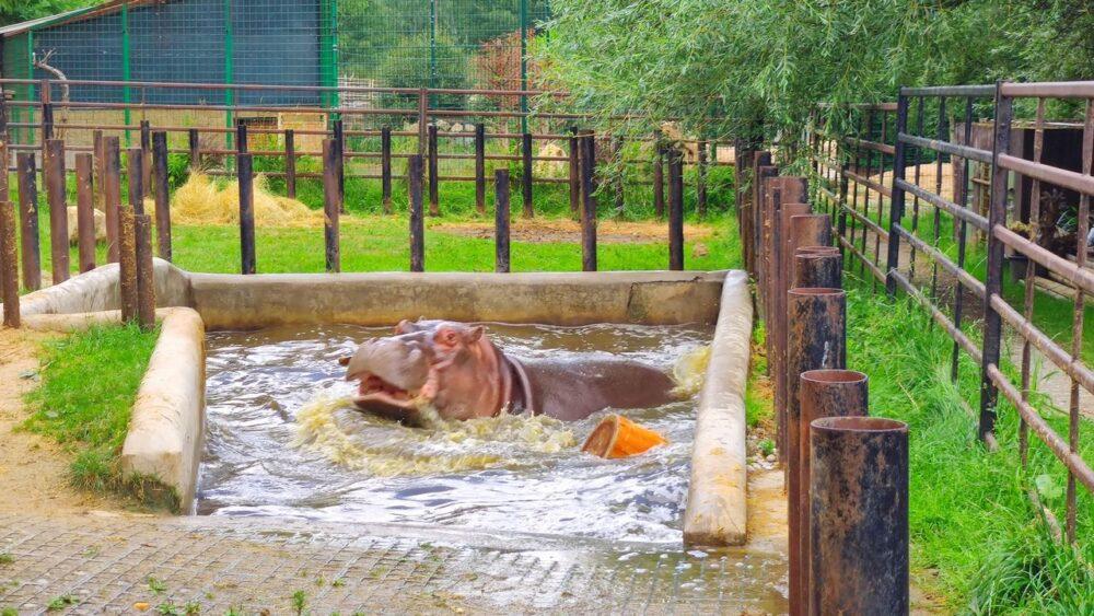 Hroch v zoo dvorec