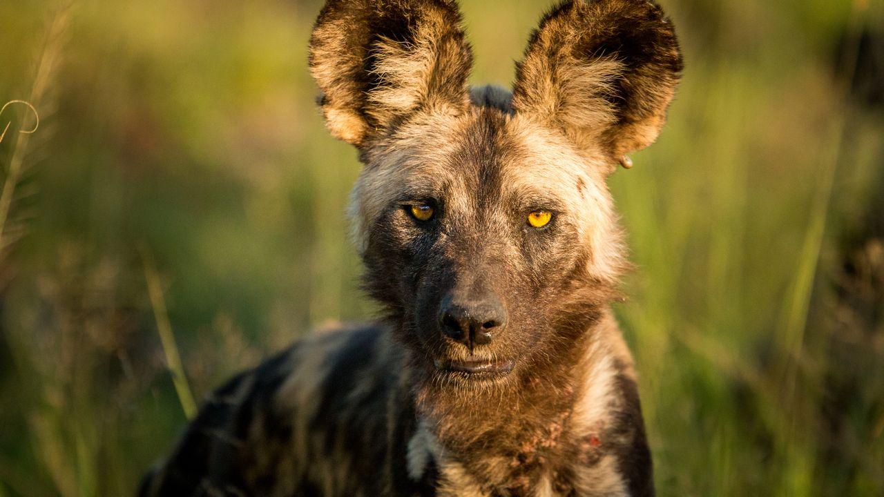 Hyena v parku Kruger