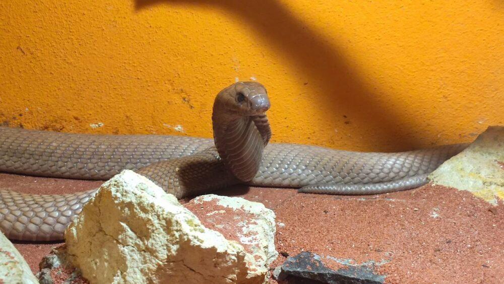 Kobra dvorec