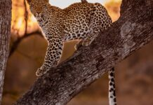 kruger narodni park leopard