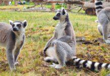 lemur kata zoo usti nad labem