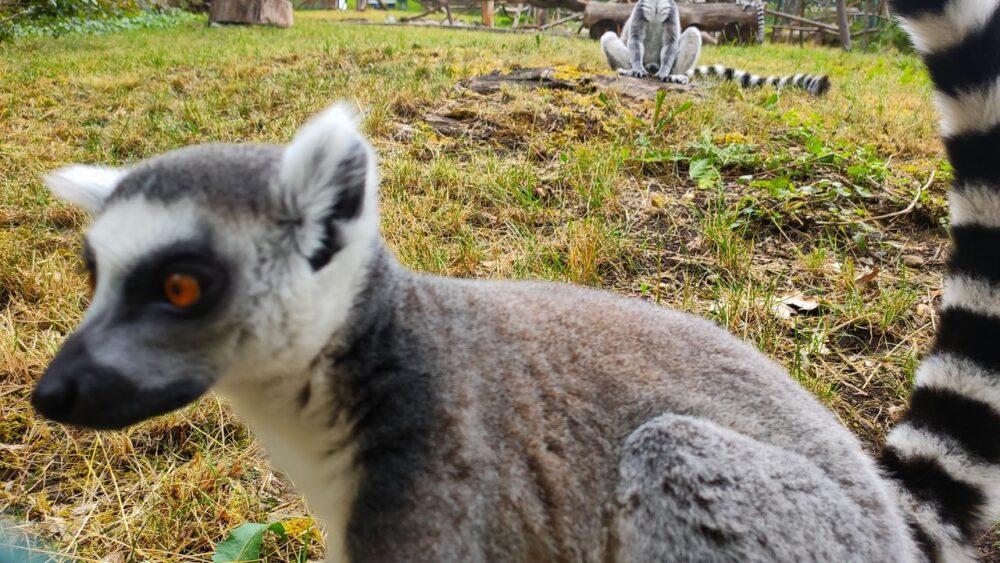 Lemur v zoo ústí nad labem