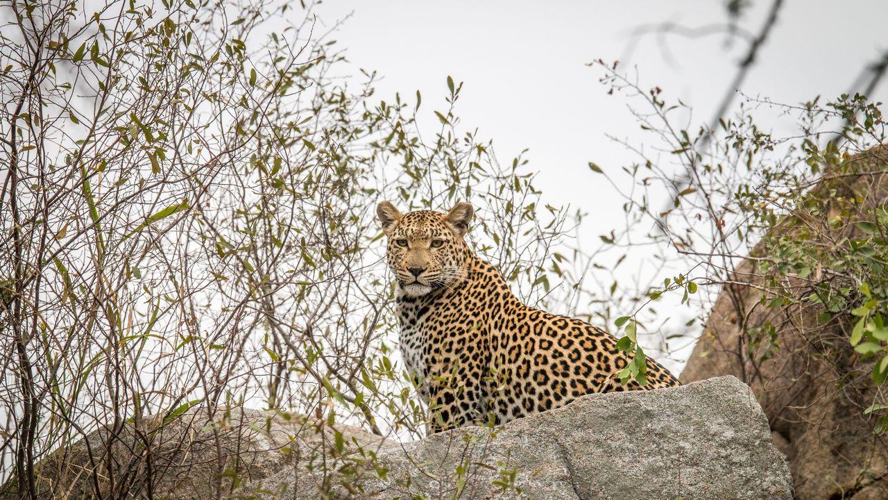 Leopard v Africe