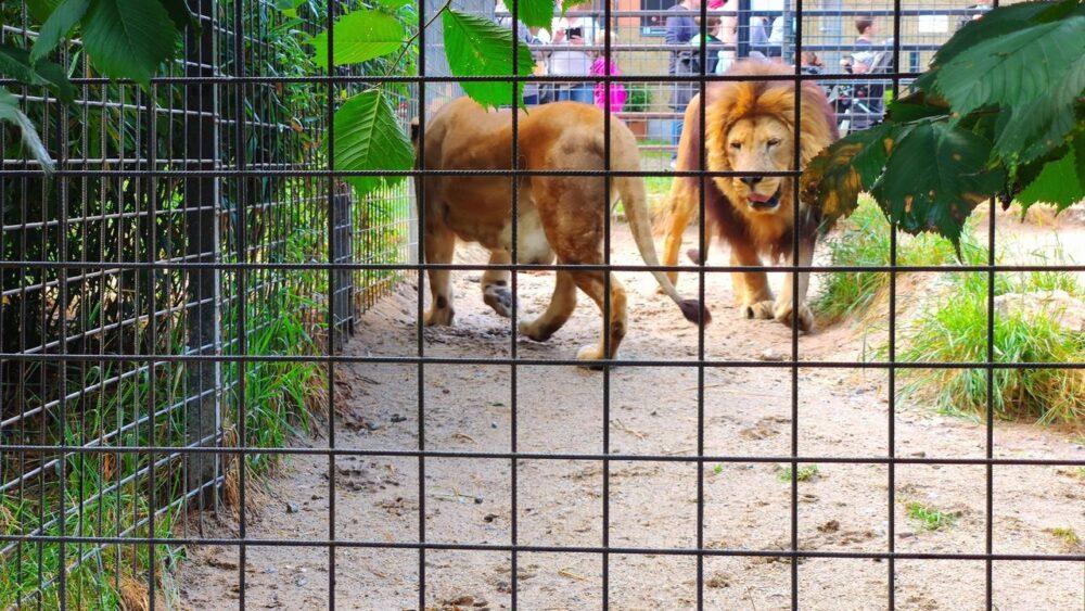 Lev v zoo dvorec