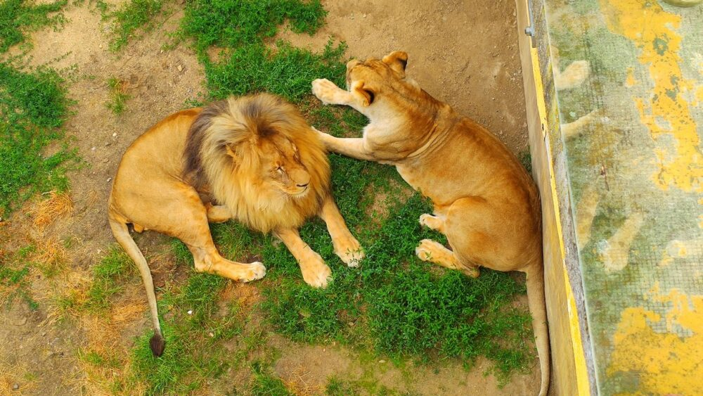 Lev v zoo ústí nad labem