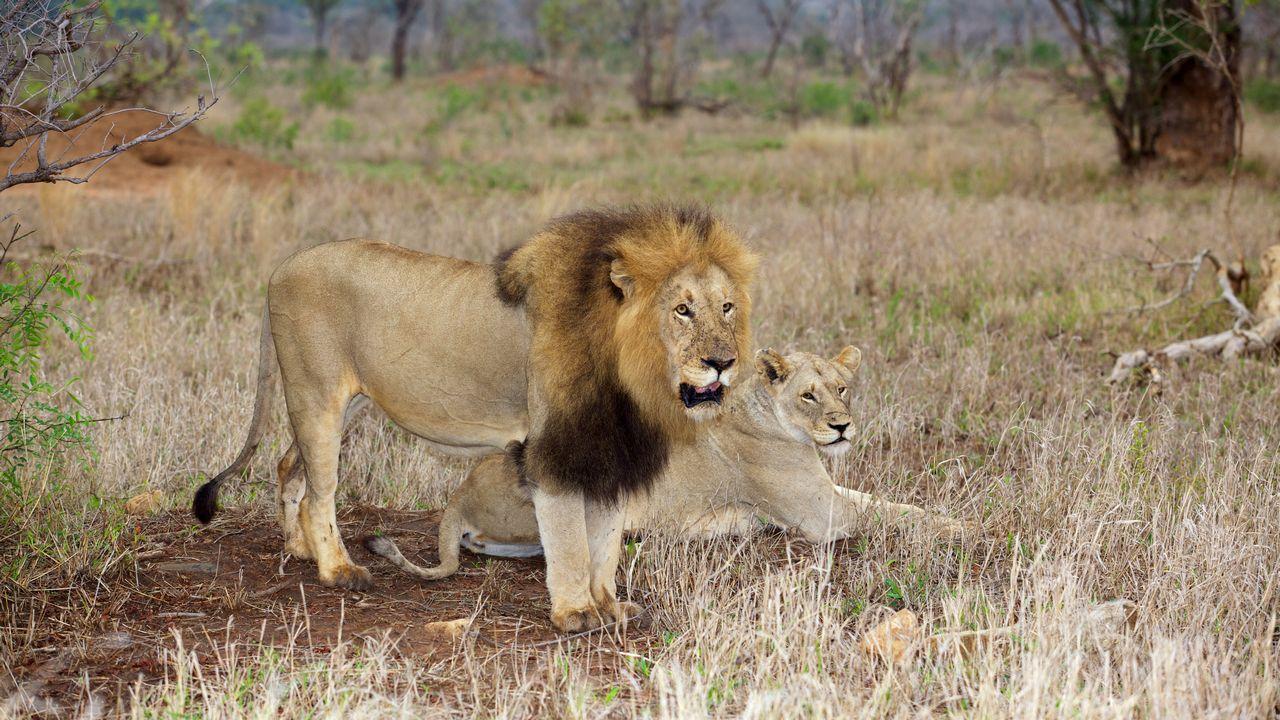 Lev - Kruger park
