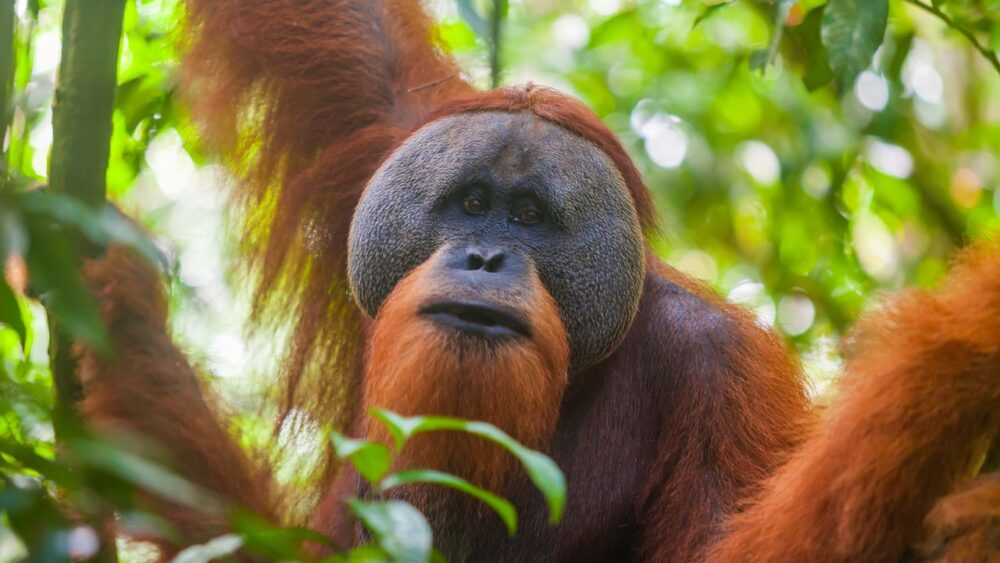 Orangutan na Sumatře