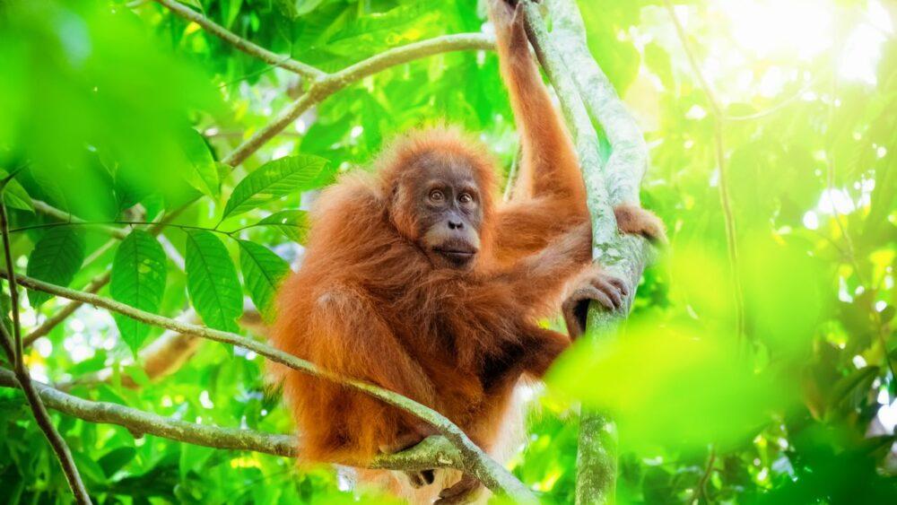 Orangutan - Sumatra