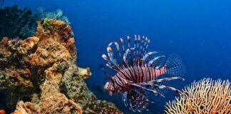 perutyn a koral