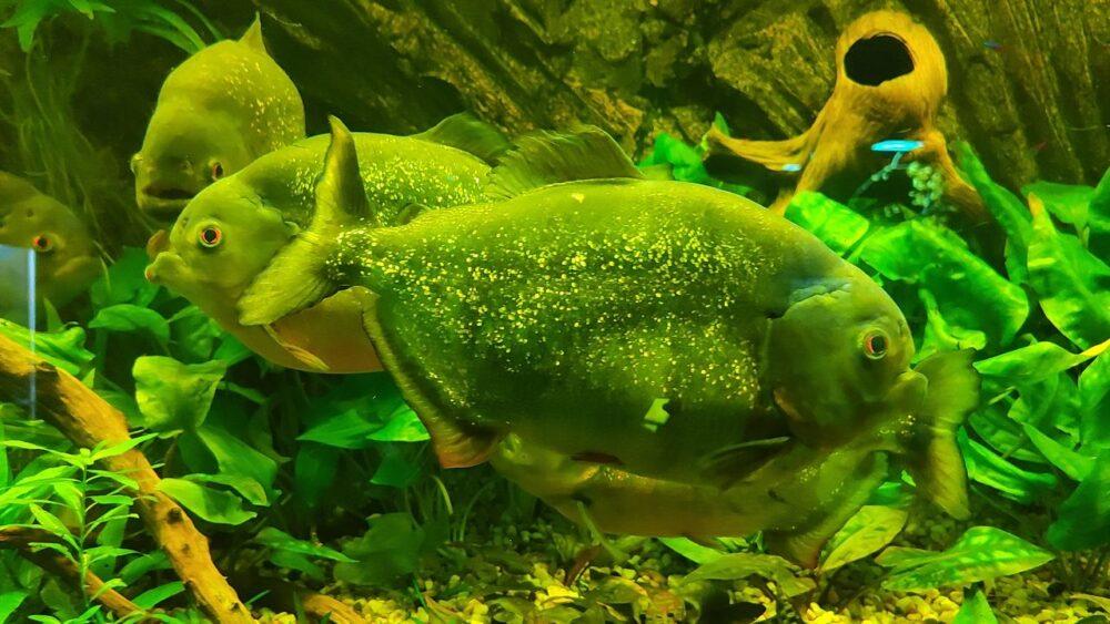 Piraňa v akváriu zoo ústí nad labem