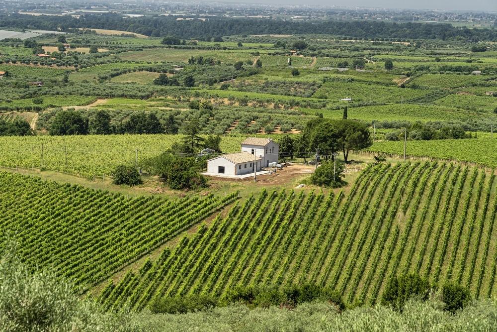 Vinice a olivové stromy u Velletri