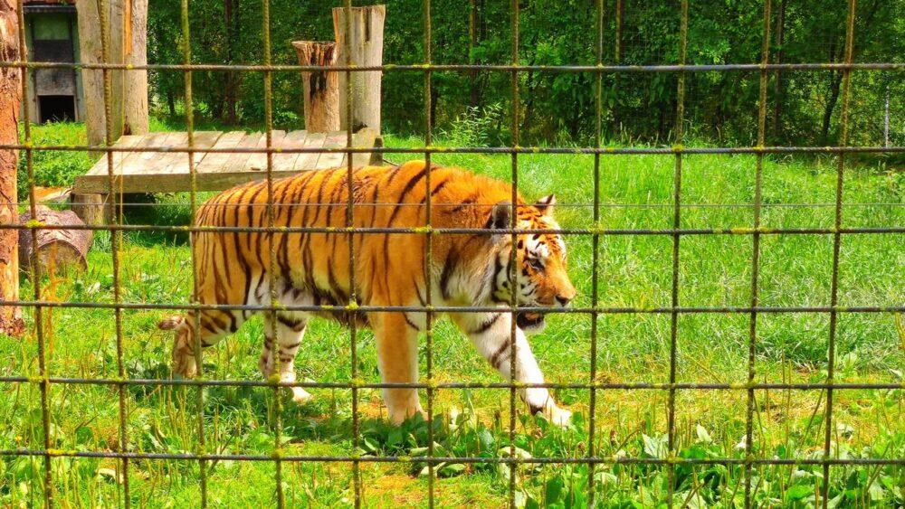 Tygr v zoo dvorec