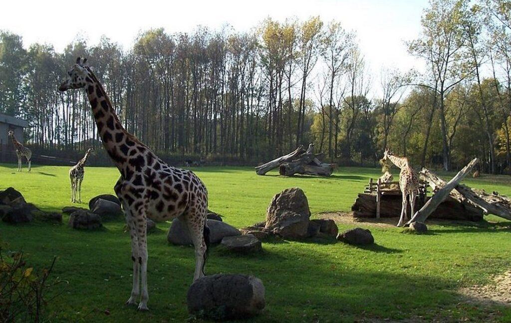 zirafa zoo