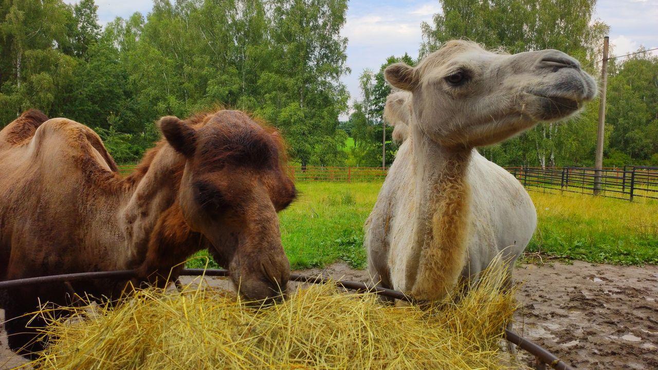 Zoo dvorec - velbloudi