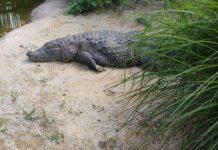 zoo krokodyl