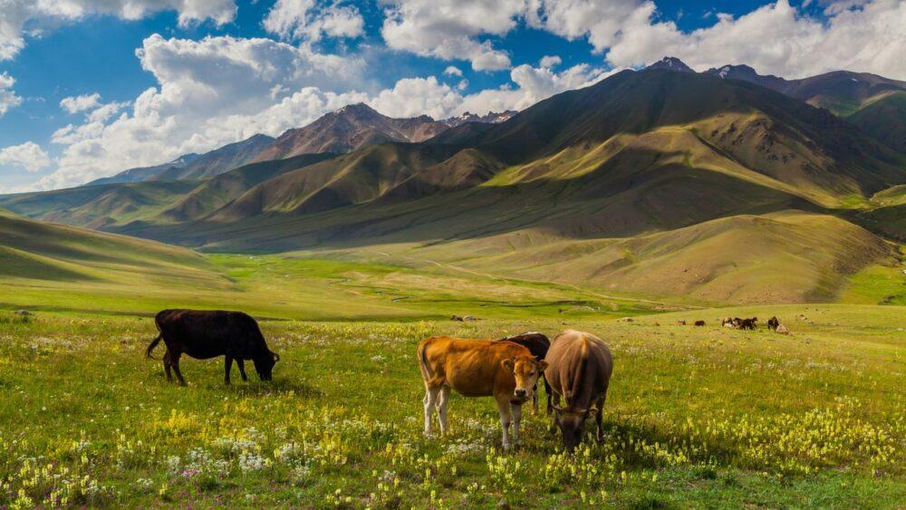 Kravy-v-Alpach