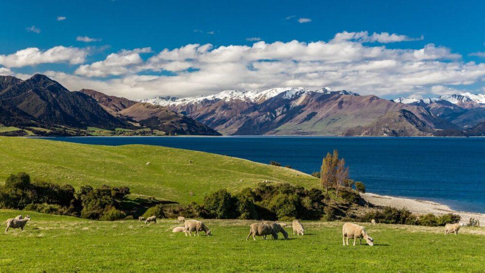 Ovce-u-jezera-Hawea